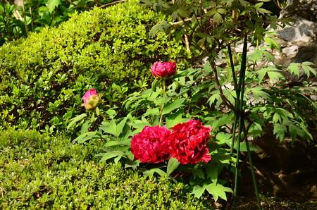 牡丹の咲き始めた余香苑