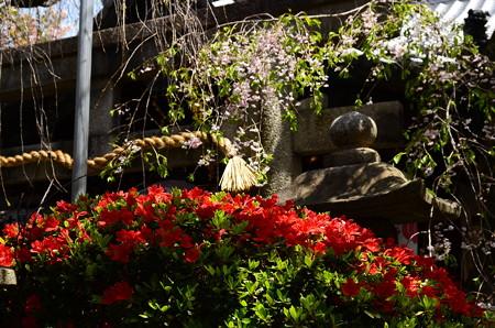 八重紅枝垂れの前に咲く躑躅