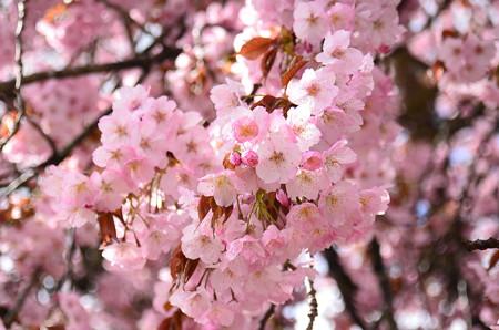 黒田百年桜(クロダヒャクネンザクラ)