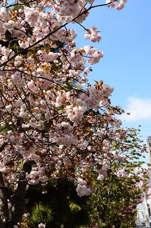 堀川沿いに咲く桜達