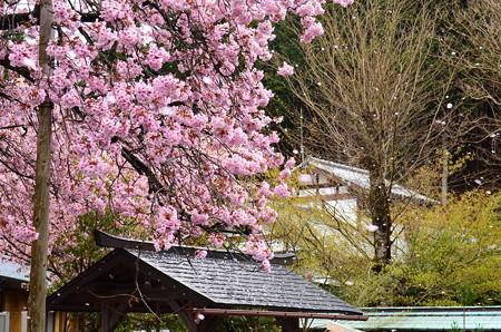 散る百年桜