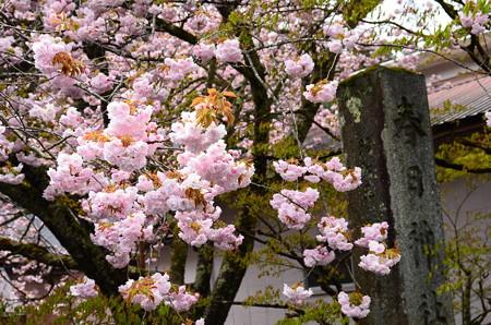 鳥居右側の桜