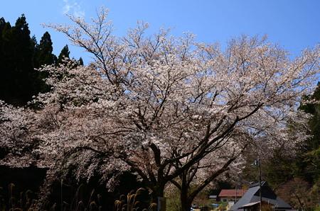 広河原の山桜