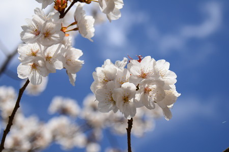 花脊交流の森の桜