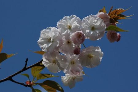 ウズザク  ラ(渦桜)1