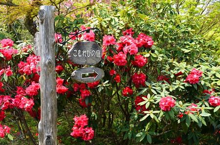 こもれびの庭の石楠花(シャクナゲ)