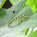 Photos: フタトガリコヤガ幼虫9821