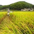 稲刈り1502