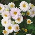 写真: 淡いピンクの小菊(庭)_4248