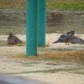 キジバト雨の日の水浴び_7775