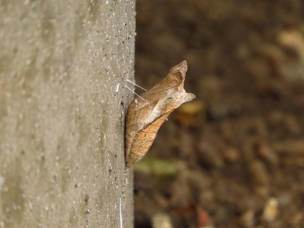 蝶のサナギ_8048