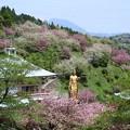 一心寺の牡丹桜_2190