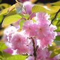 一心寺の牡丹桜_2182