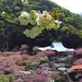一心寺の牡丹桜_2187