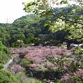 一心寺の牡丹桜_2189