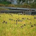 Photos: スズメの群れ