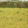Photos: スズメの群れ2