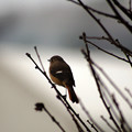 Photos: 百舌鳥1
