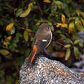 Photos: 百舌鳥2