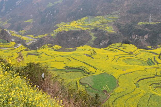 雲南省羅平 牛街の菜の花畑#3