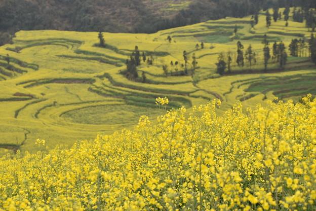 雲南省羅平 牛街の菜の花畑#12
