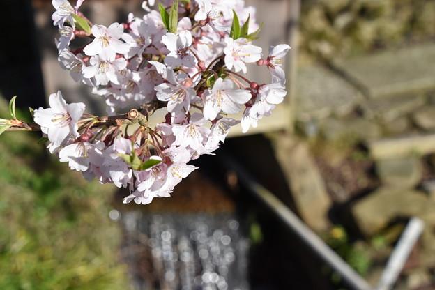 アズマヒガンザクラ(清水の桜)