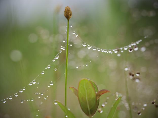 150829_箱根湿生花園_水滴<クモの糸>_F82961848_MZD60M_X6As