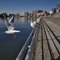 Photos: 160302_横浜市鶴見区・鶴見川_飛翔<ユリカモメ>_F30281416_MZD12ZP_X6As