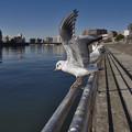 Photos: 160302_横浜市鶴見区・鶴見川_飛翔<ユリカモメ>_F30281418_MZD12ZP_X6As
