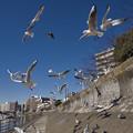 Photos: 160302_横浜市鶴見区・鶴見川_飛翔<ユリカモメ>_F30281581_MZD12ZP_X6As