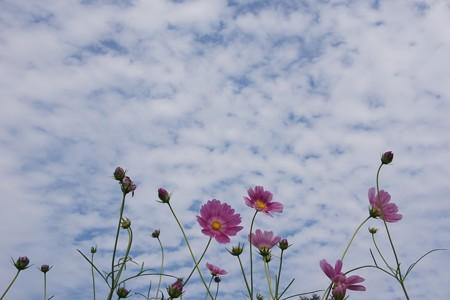 秋空にコスモス1