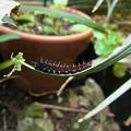 写真: まだいたツマグロヒョウモンの幼虫