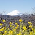 Photos: 富士山と菜の花3