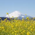 Photos: 富士山と菜の花5