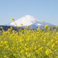 Photos: 富士山と菜の花6