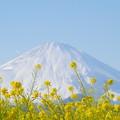 Photos: 富士山と菜の花10