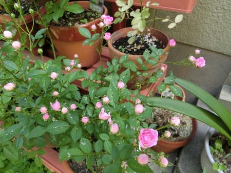 ピンクのミニバラ開花!