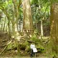 写真: 貴船神社の杉