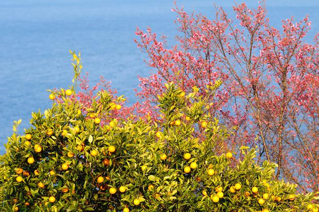 みかんと海と早咲きの桜