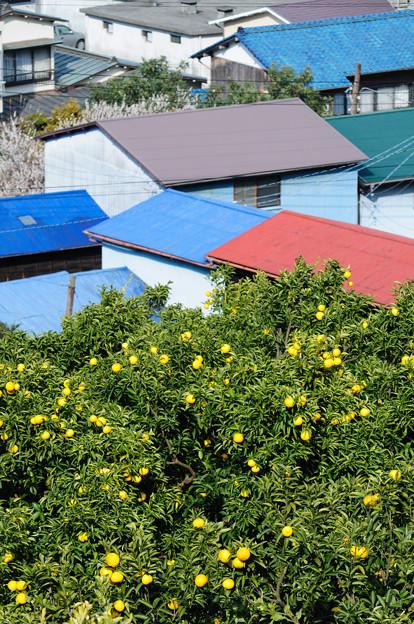 みかん畑と色とりどりの屋根