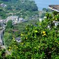 みかん山の上から米神カーブをゆく211系東海道線普通電車を見下ろす