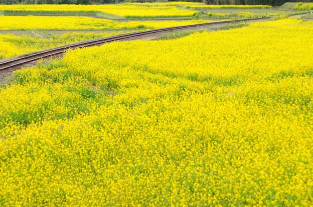養老渓谷 石神の菜の花畑