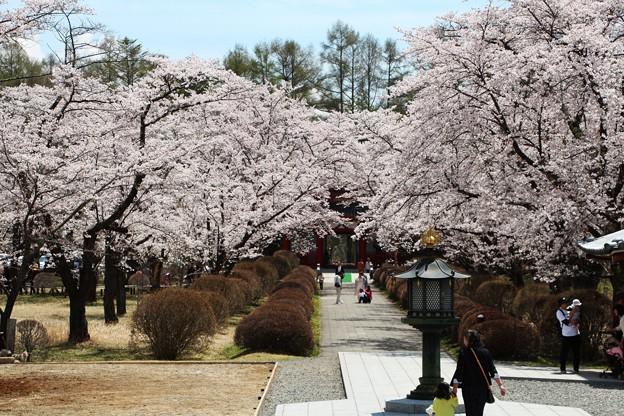 参道の桜のトンネル