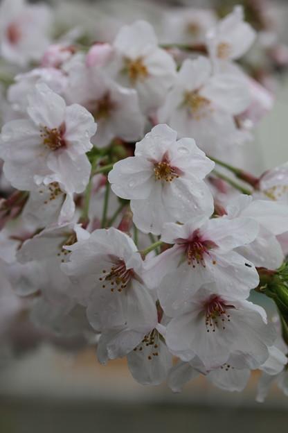 0404 桜 (3)