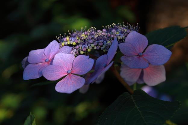 紫陽花(水面の反射光)
