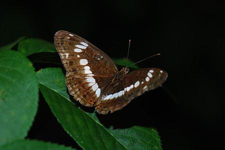 タテハチョウ科 イチモンジチョウ