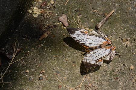 タテハチョウ科 イシガケチョウ♂