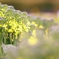 *ブロッコリーの花*