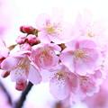 写真: *春顔~~