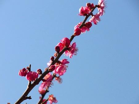 富津公園の梅
